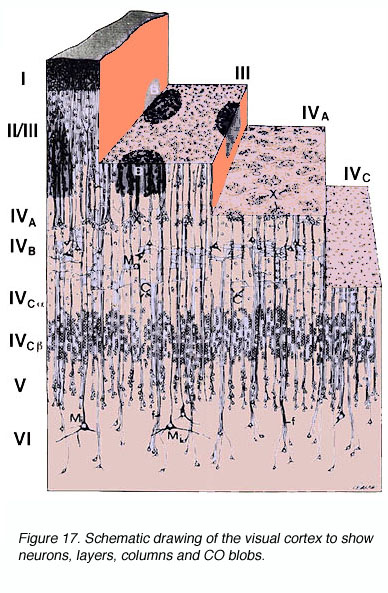 of the visual cortex to show neurons  layers  columns and CO blobsVisual Cortex Layers